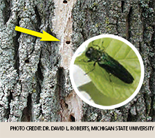 Close-up of Emerald Ash Borer