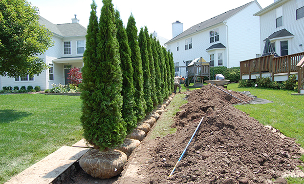 Arborvitae Shrubs Being Planted